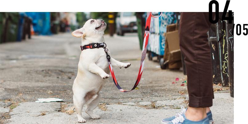 Collar French Bulldog